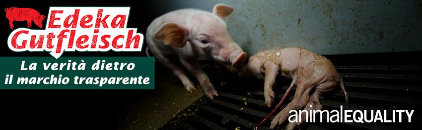Investigazione negli allevamenti di maiali in Germania