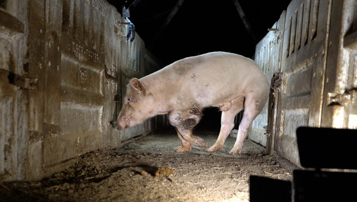 Risultati immagini per Animal Equality Italia