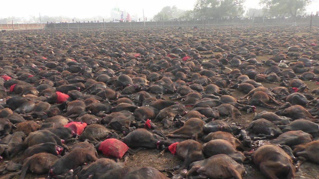 sacrifici animali india, Gadhimai
