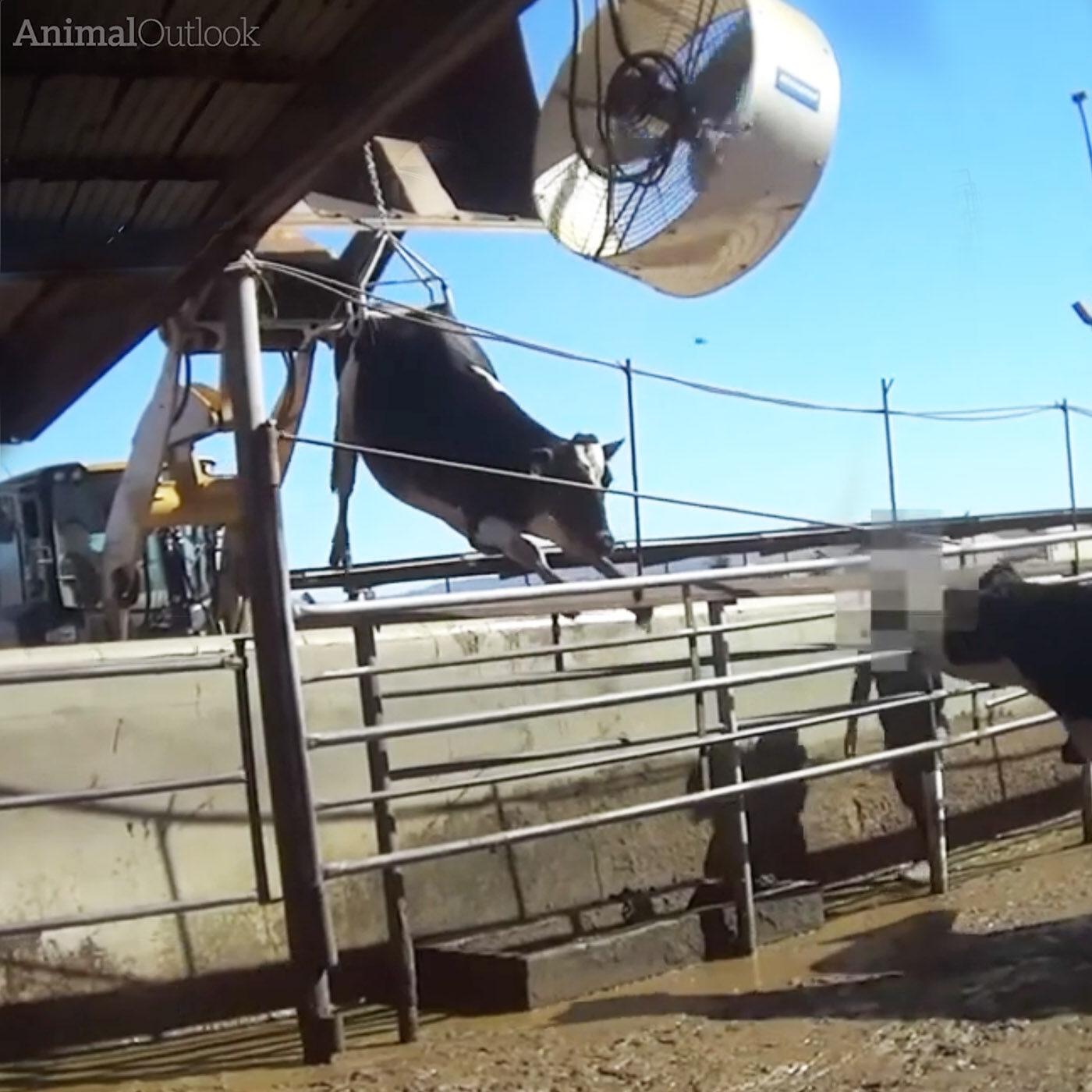 mucche allevamento intensivo