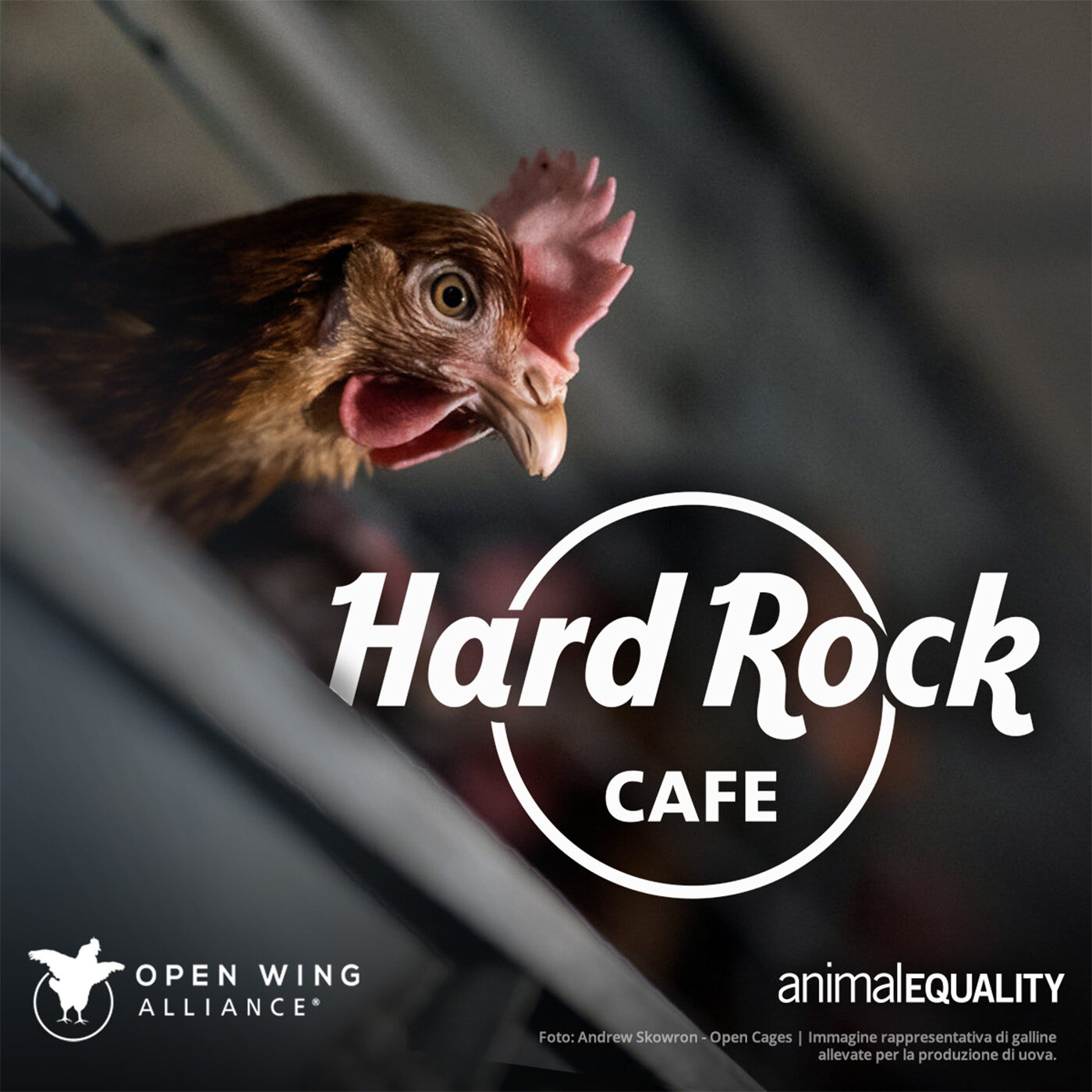 Hard Rock galline gabbie