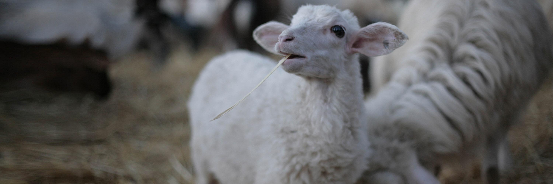 agnello paqua