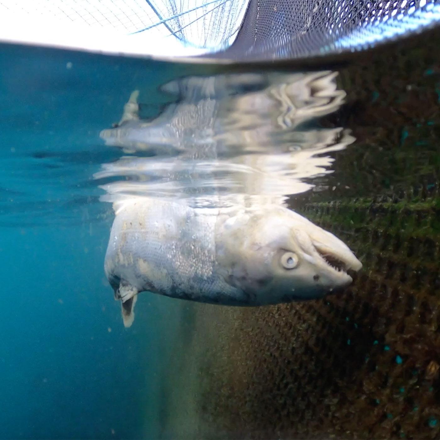 Salmoni allevamenti intensivi scozia