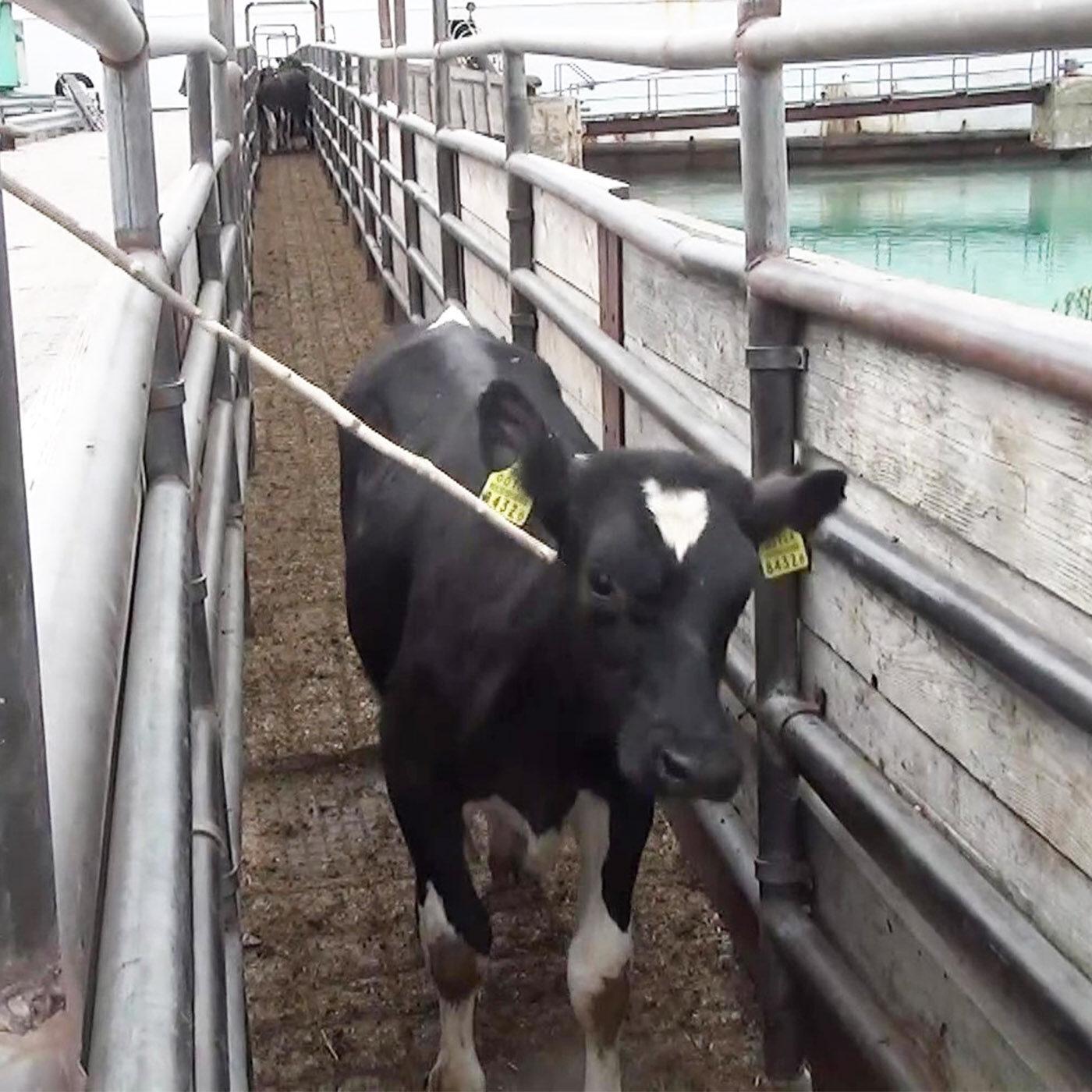 Spagna nave vitelli uccisi