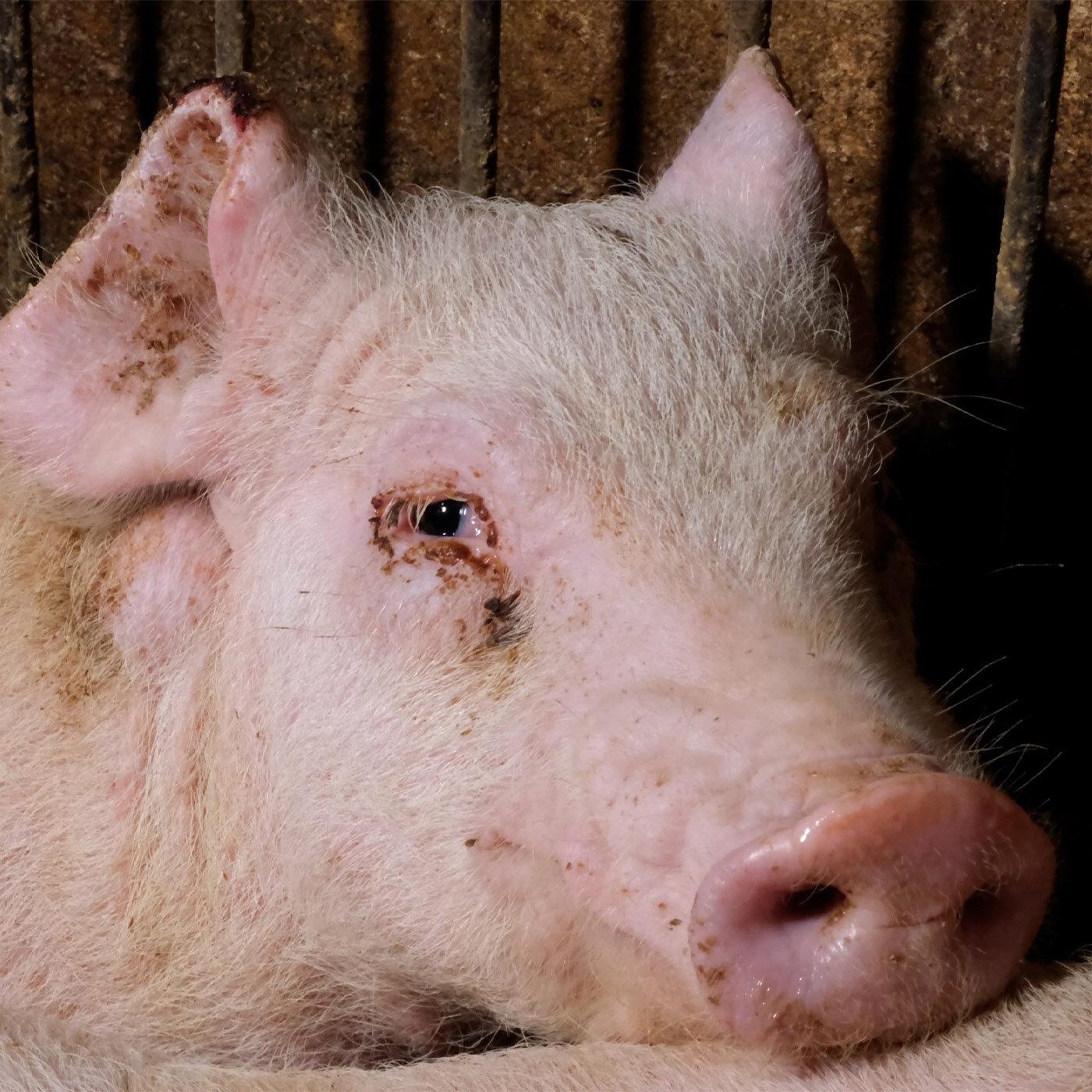 Bompieri allevamento maiali