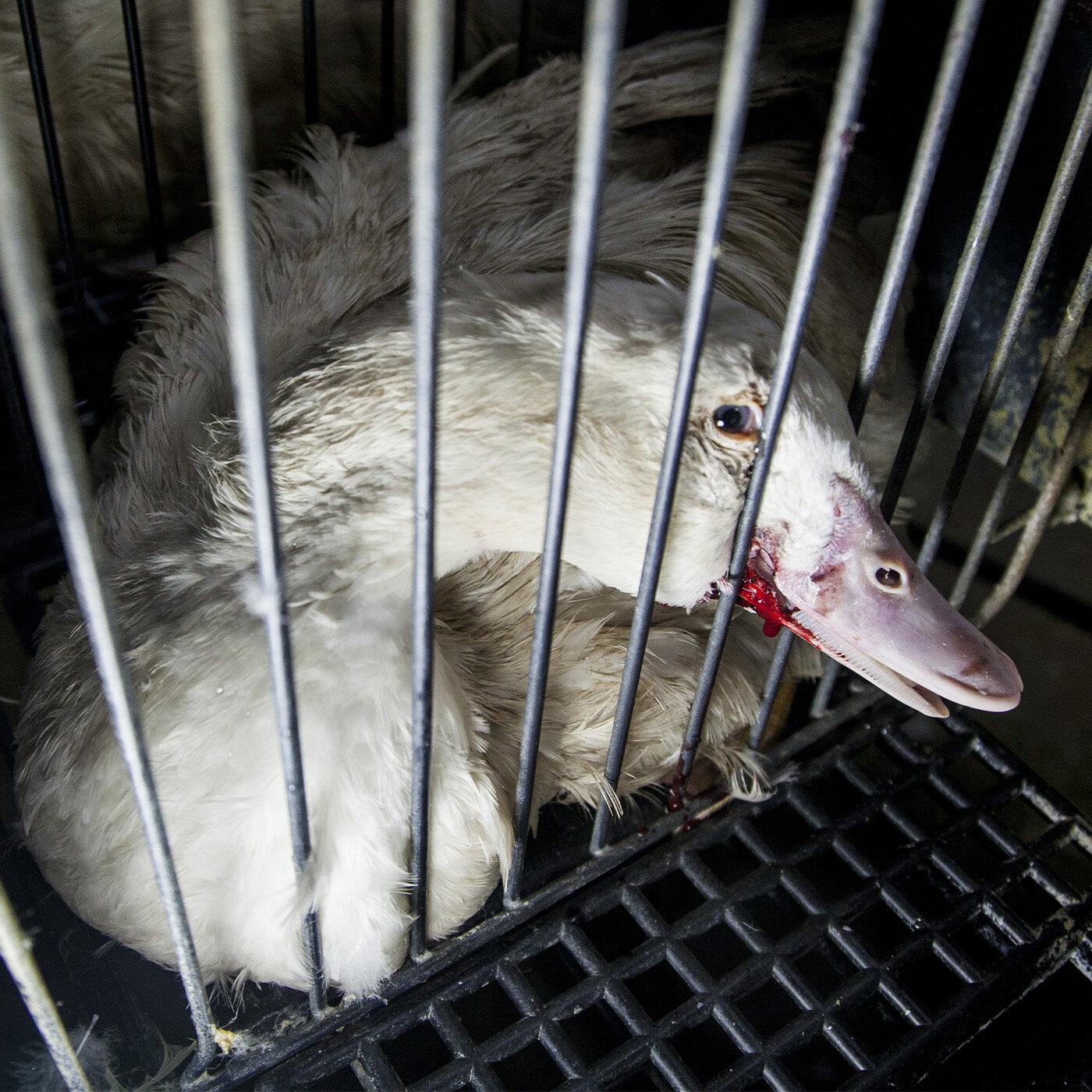 foie gras produzione